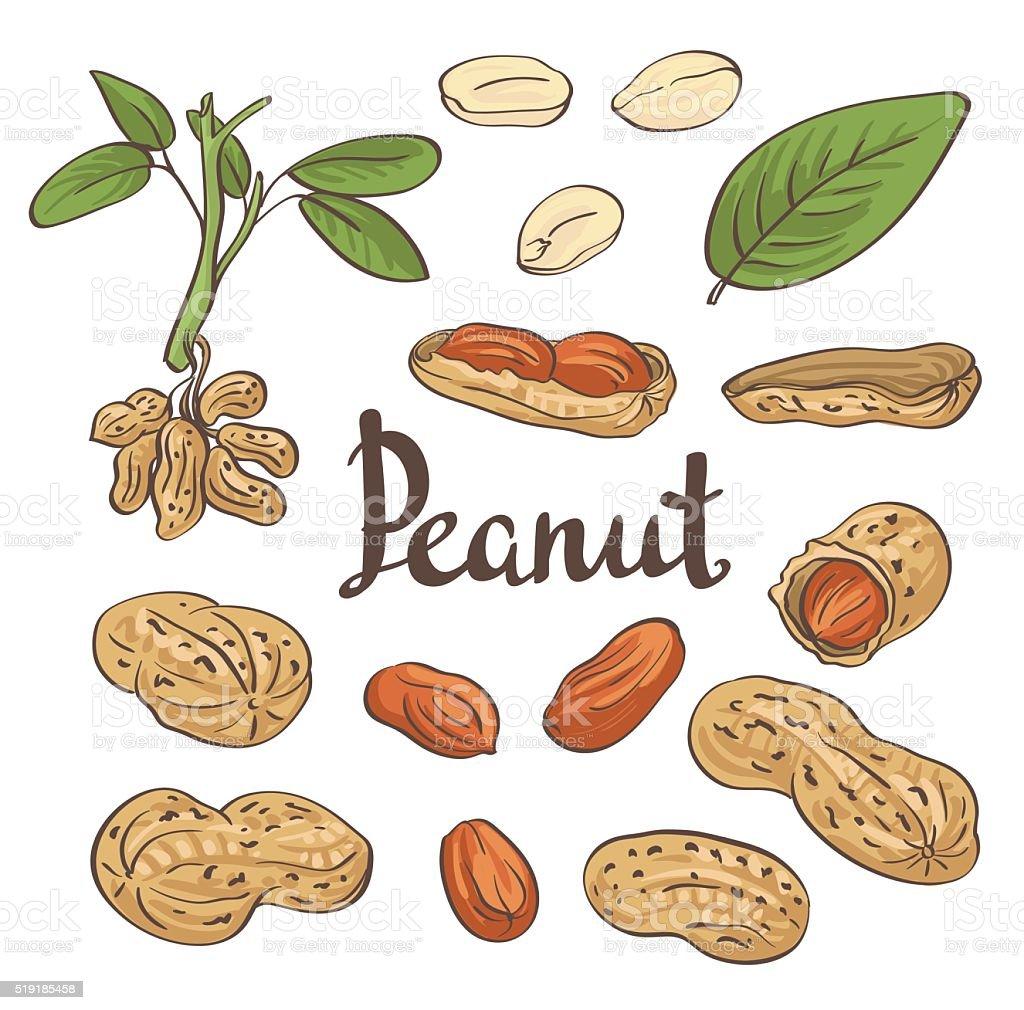 Peanuts, kernels and leaves. Vector illustration vector art illustration