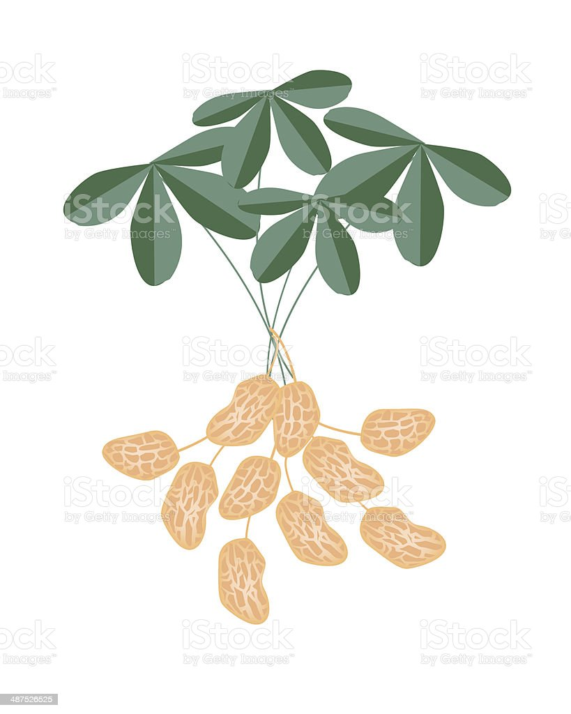 Peanuts Plant on White Background royalty-free stock vector art
