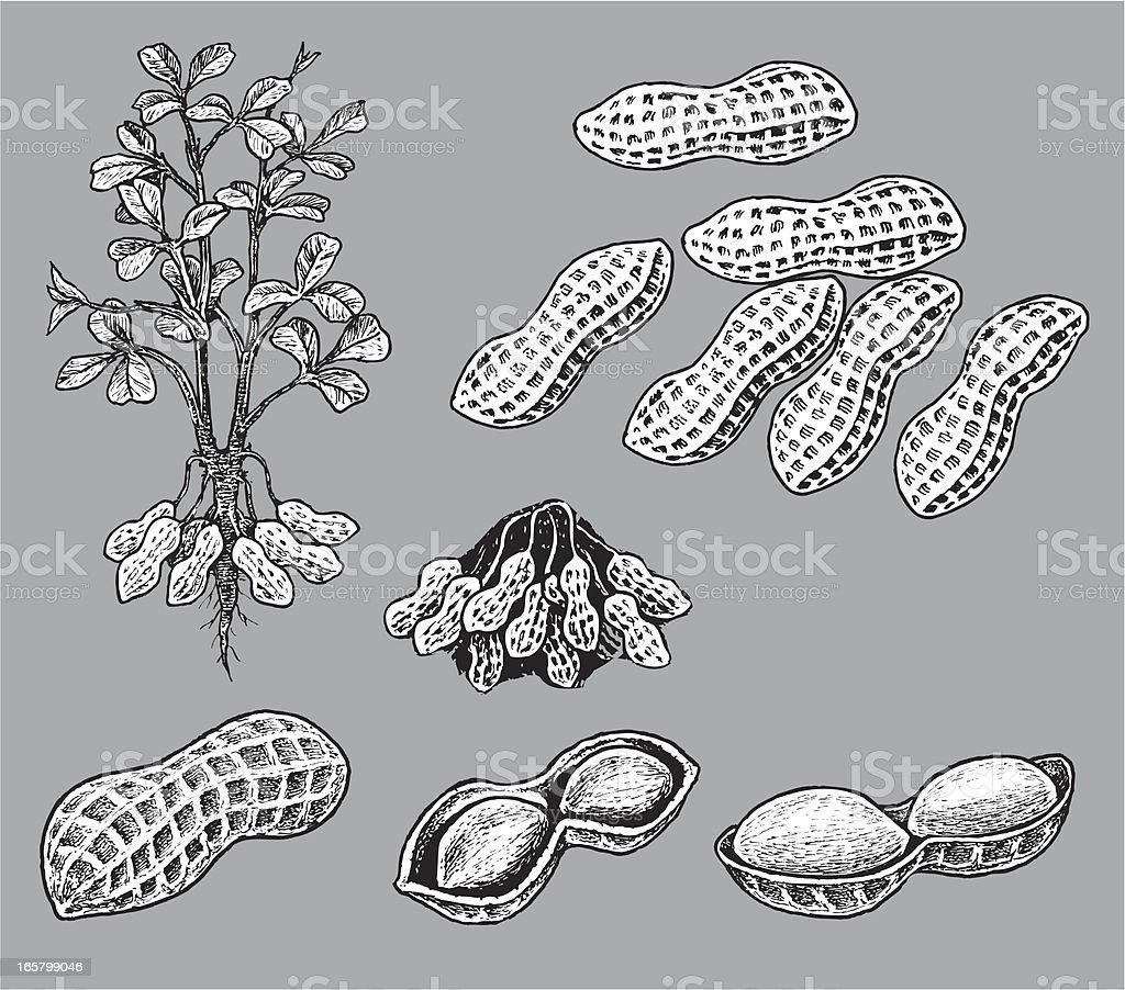 Peanuts vector art illustration