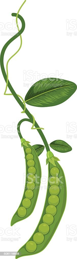 Peas vector art illustration
