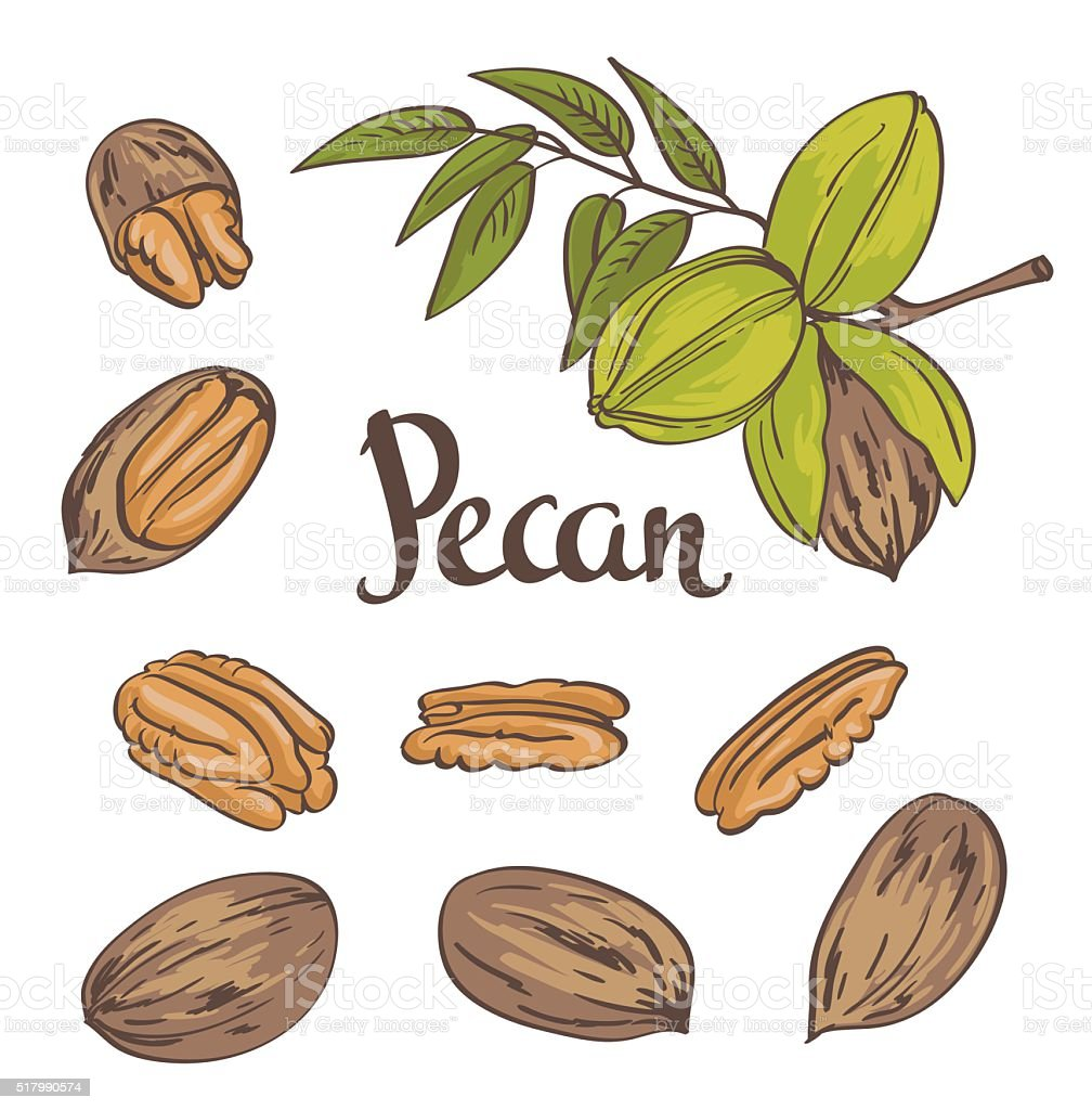 Pecan nuts isolated on a white background. Vector illustration. vector art illustration