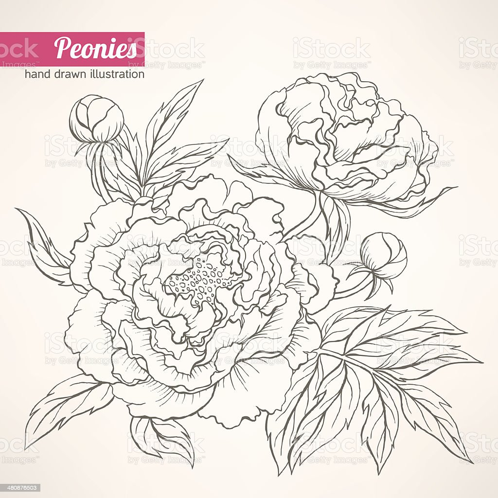Пионы рисунок в цвете