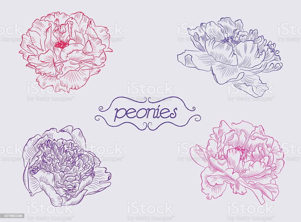 peonies vector art illustration