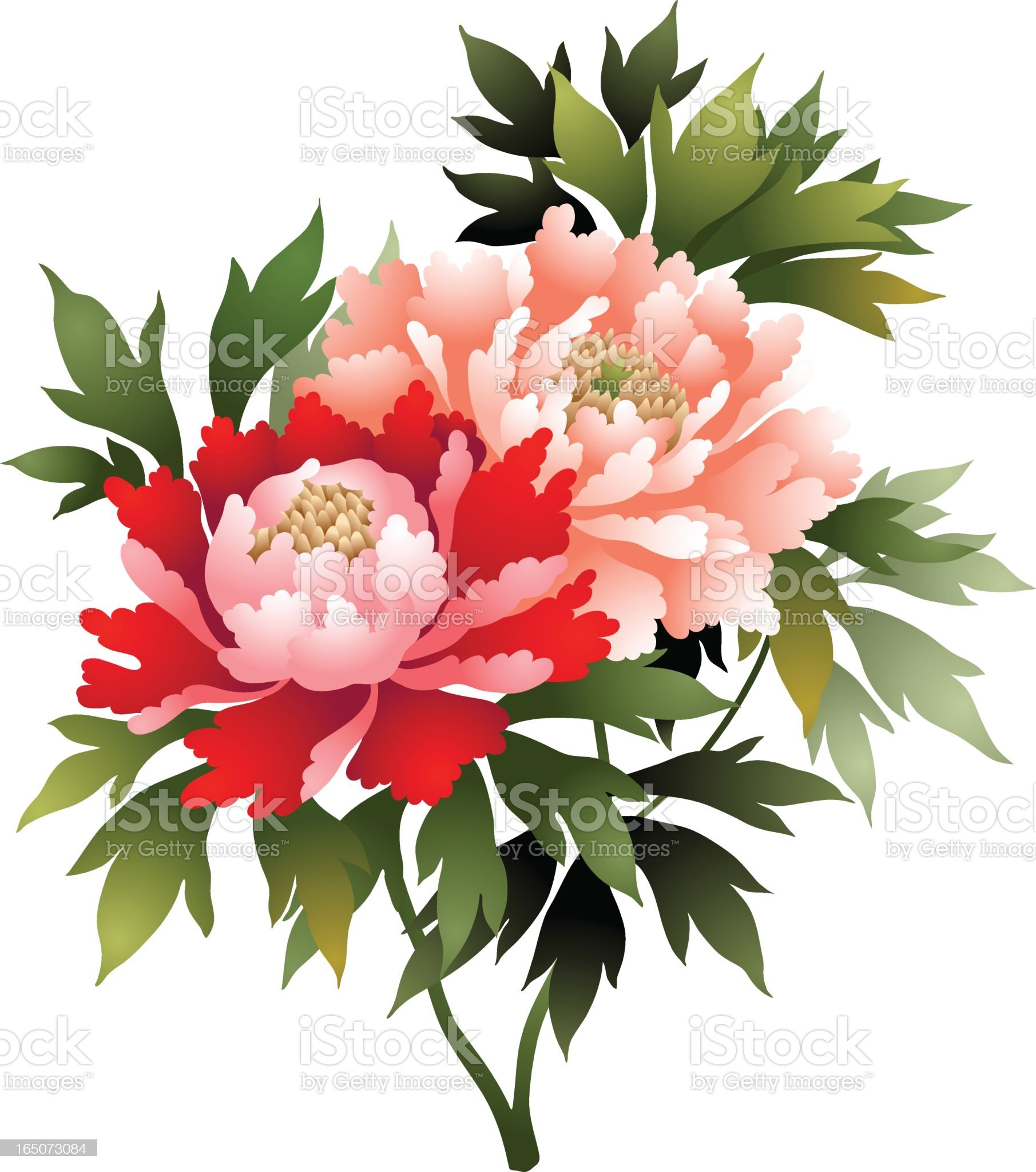 Peony flower illustration royalty-free stock vector art