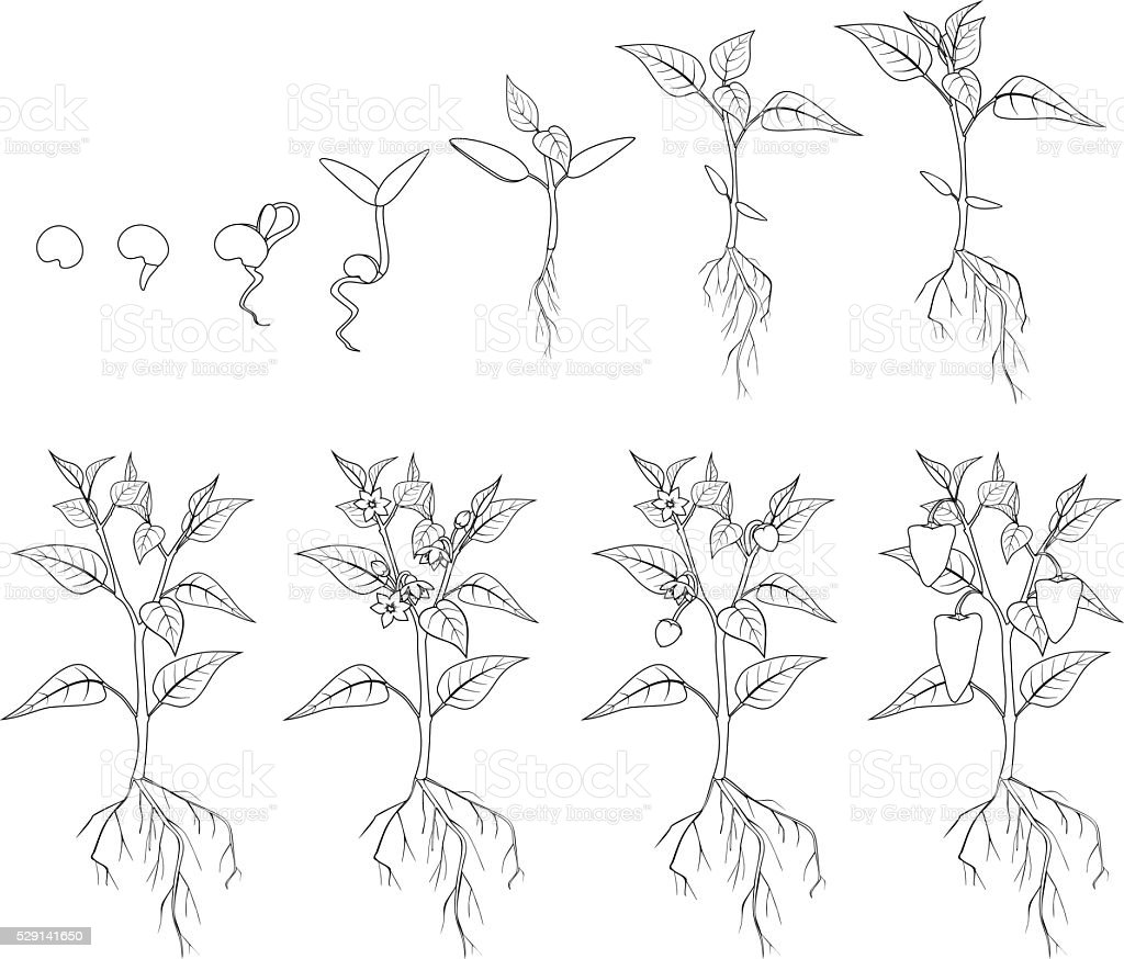 Pepper growing stage. Coloring vector art illustration