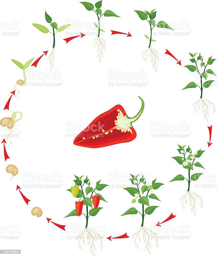 Pepper growing stage vector art illustration