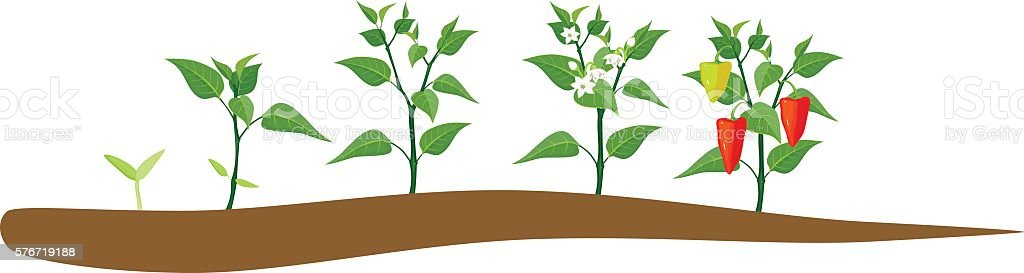 Pepper growing stage vector art illustration