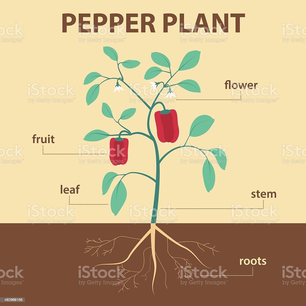 pepper plant vector art illustration