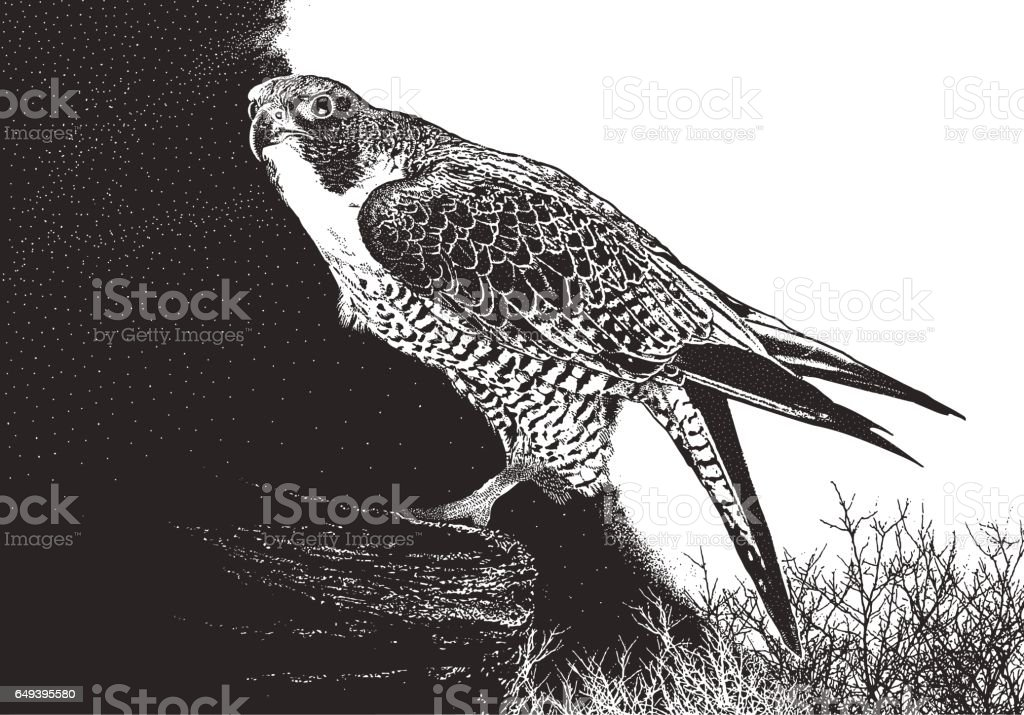 Peregrine Falcon perching on a cliff vector art illustration