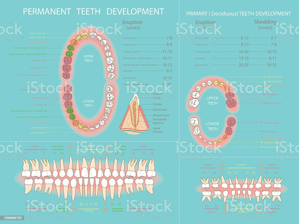 Permanent and primary teeth development vector art illustration