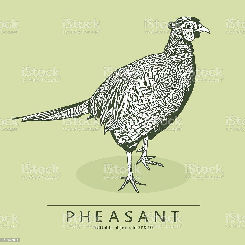 Pheasant. vector art illustration