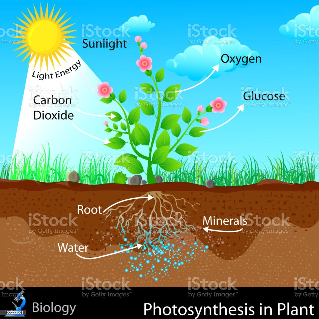 Photosynthesis in Plant royalty-free stock vector art