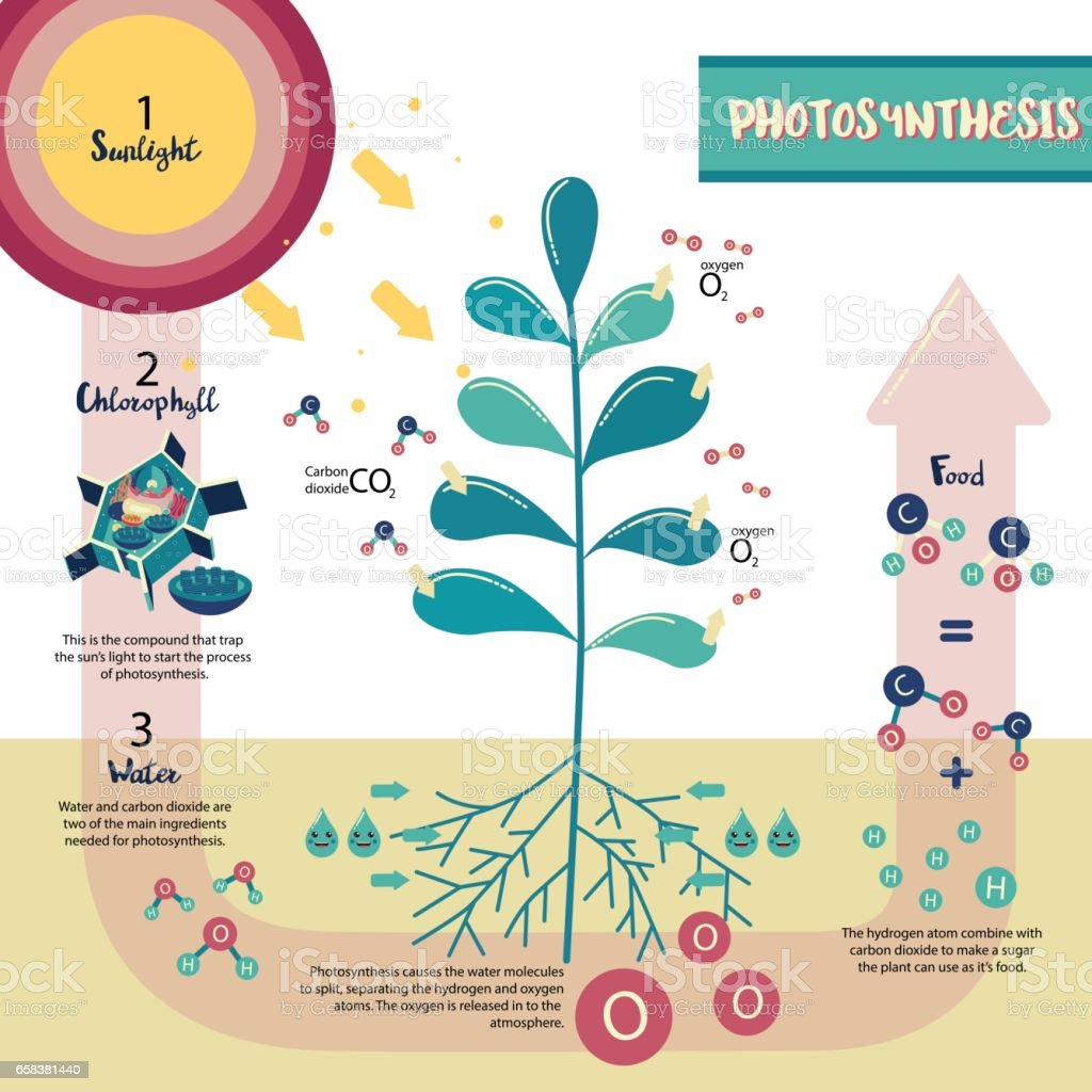 What is the exact opposite of photosynthesis Gravitropism - Wikipedia