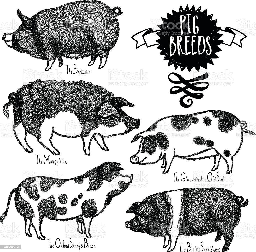 Pig Breeds Vector illustration Sketch style Hand drawn vector art illustration