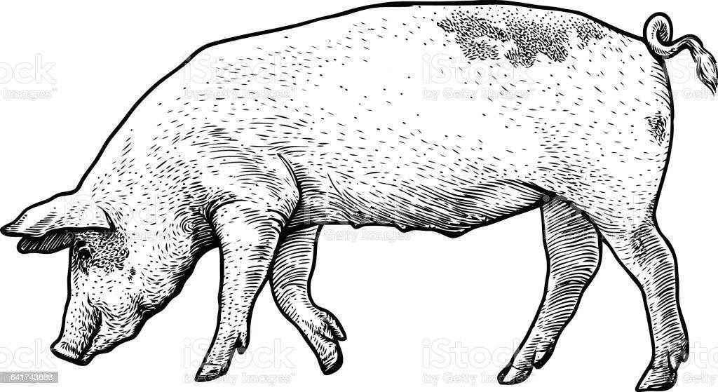Line Drawing Pig : Pig illustration drawing engraving line art realistic 일러스트