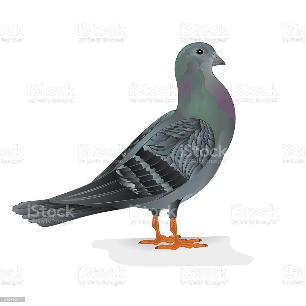 Pigeon breeding bird vector vector art illustration
