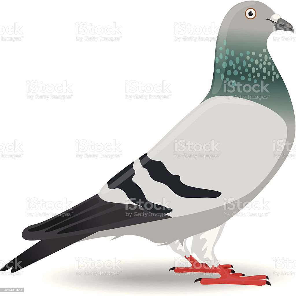 Pigeon or Dove vector art illustration