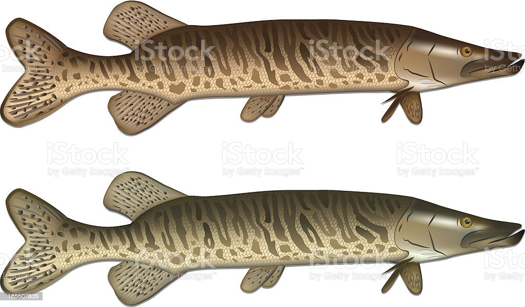 Pike fish vector illustration royalty-free stock vector art
