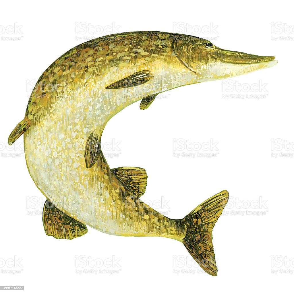 Pike in the water. vector art illustration