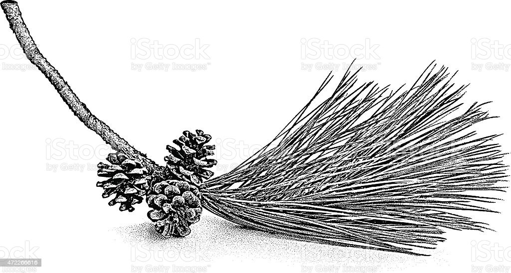 Pine Bough and Cones vector art illustration