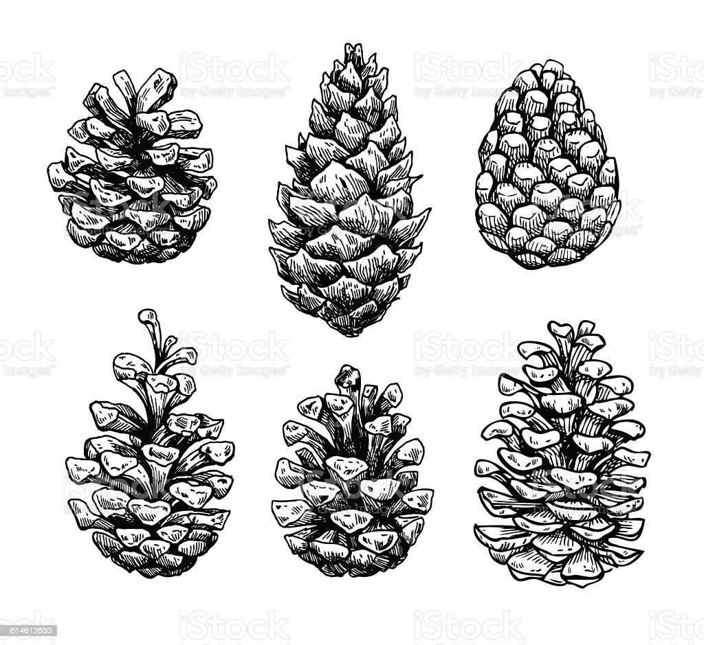 Pine cone set. Botanical hand drawn vector illustration. Isolate vector art illustration