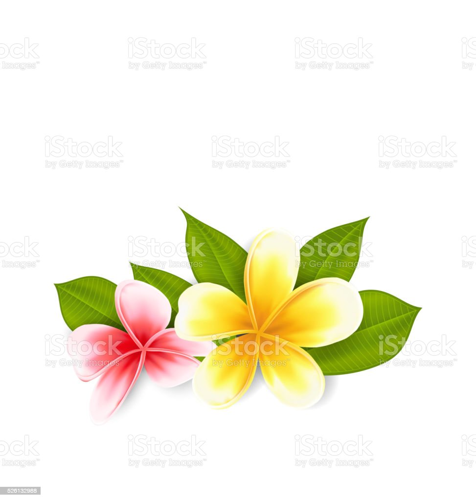 Pink and yellow frangipani (plumeria), exotic flowers isolated o vector art illustration