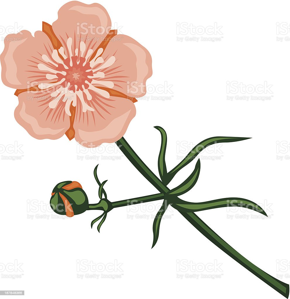 Pink buttercup vector art illustration