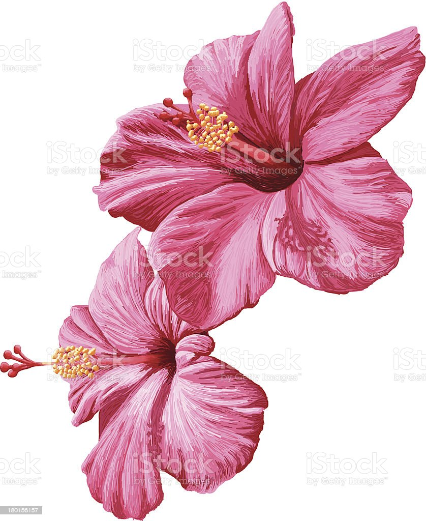 2 pink hibiscus flowers on a white background vector art illustration