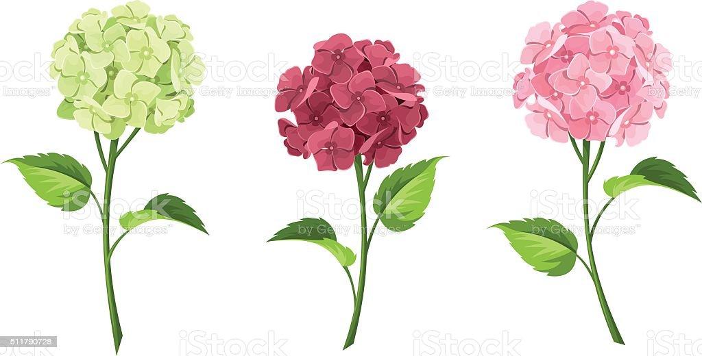 Pink, maroon and green hydrangea flowers. Vector illustration. vector art illustration