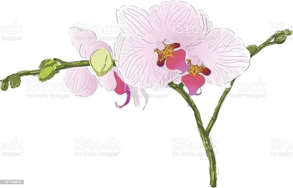 Pink orchid royalty-free stock vector art