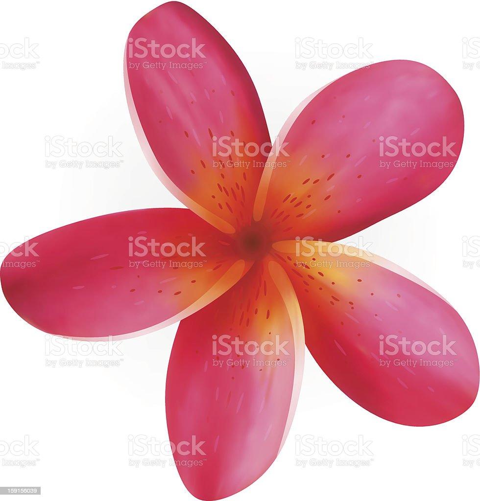 Pink Plumeria flower isolated on white vector art illustration