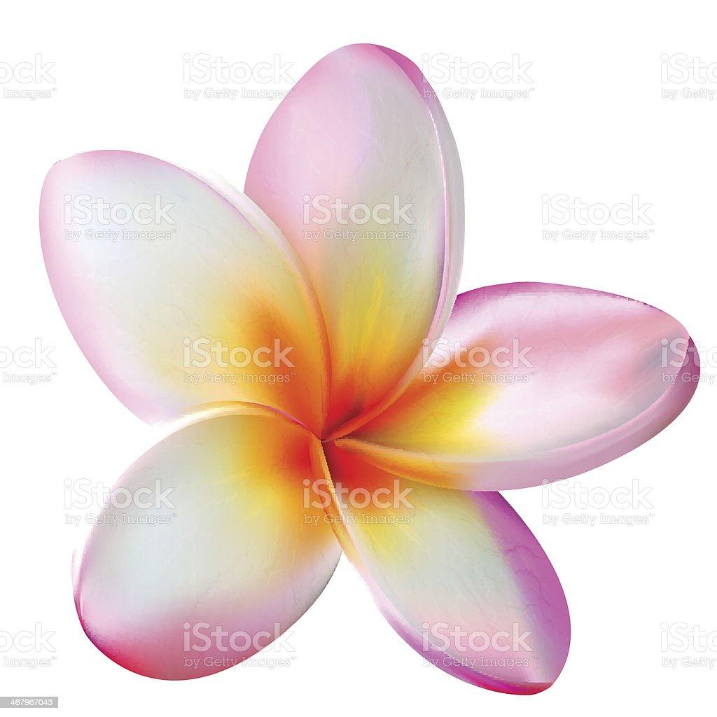 Pink plumeria flower. Vector illustration vector art illustration