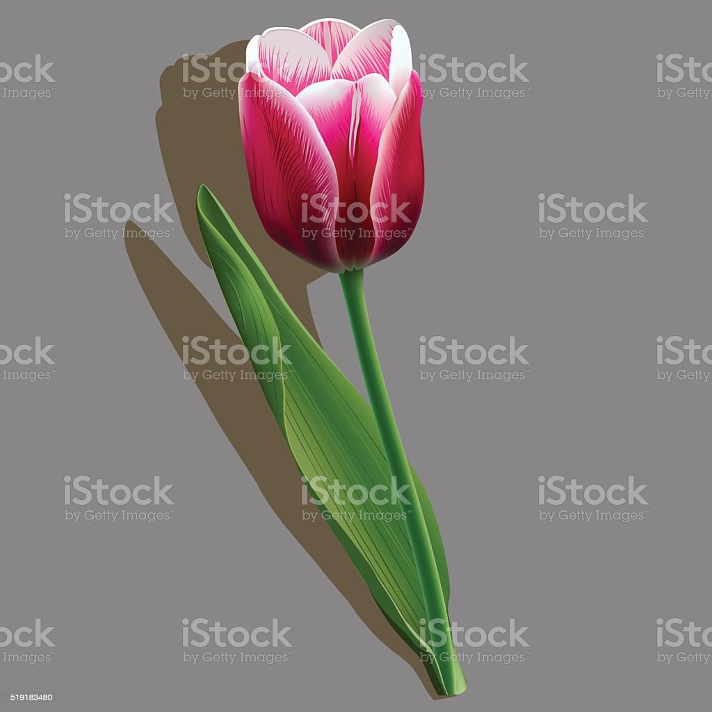 Pink tulip with a green leaf on grey background vector art illustration