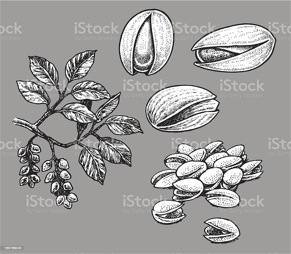Pistachio Nut royalty-free stock vector art
