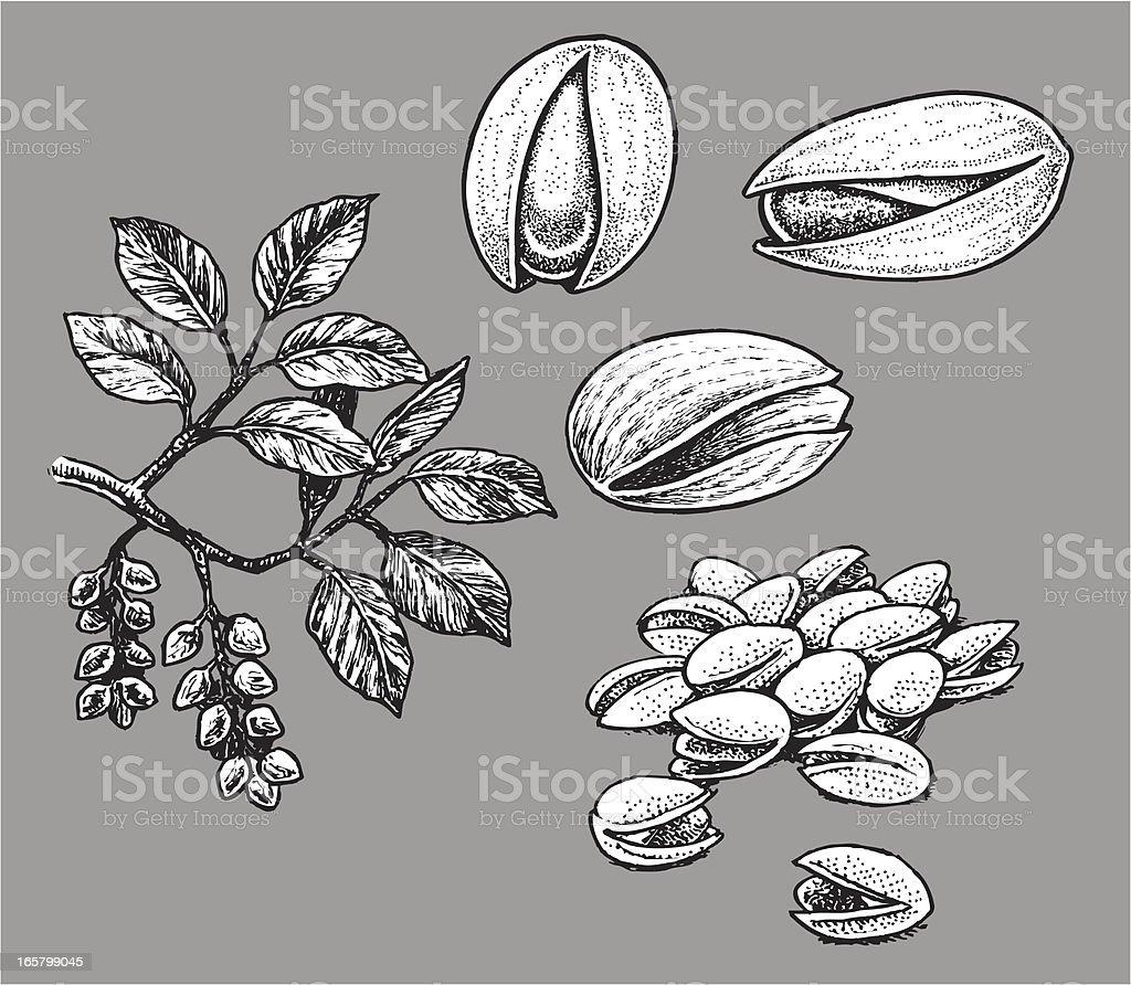 Pistachio Nut vector art illustration