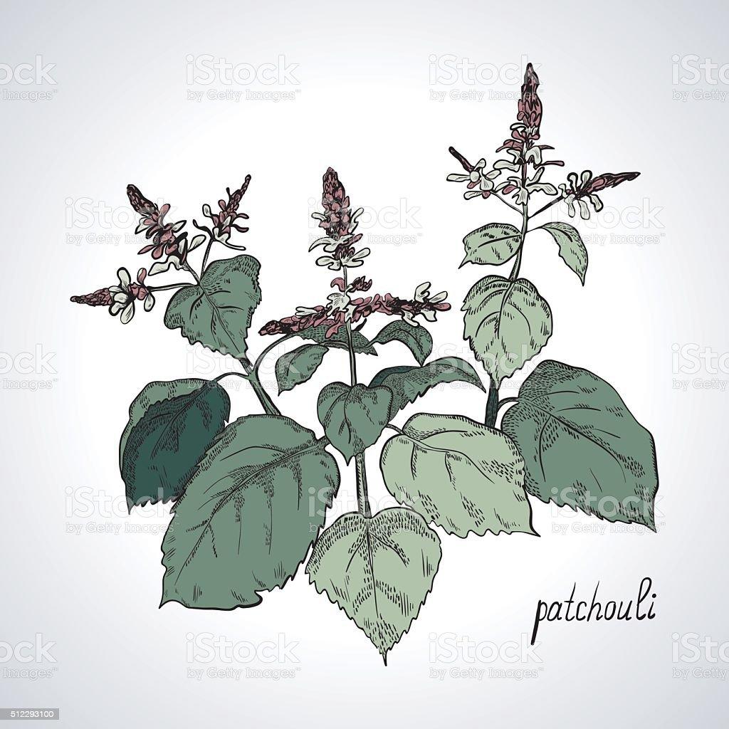 Plant patchouli, line art, color vector art illustration