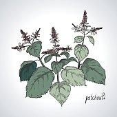 Plant patchouli, line art, color