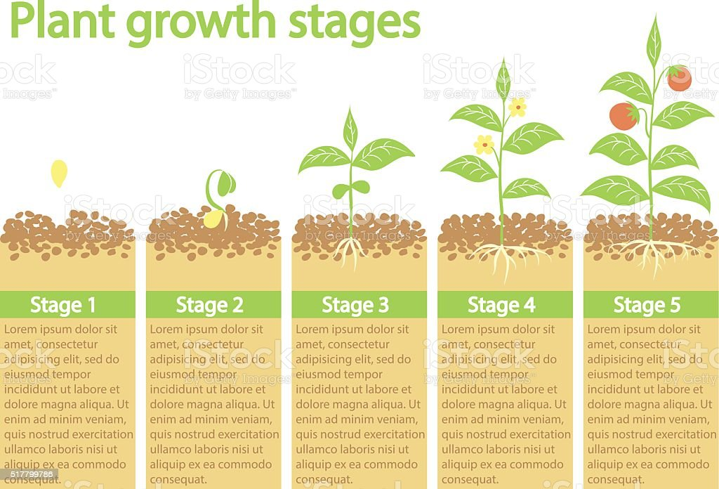 Plants growing infographic. vector art illustration