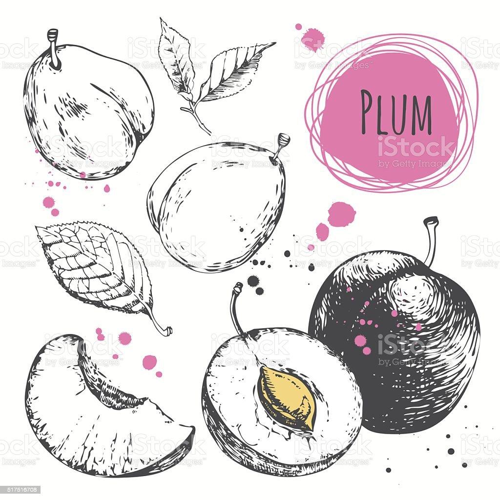 Plum. Hand drawn set with fresh organic food. vector art illustration