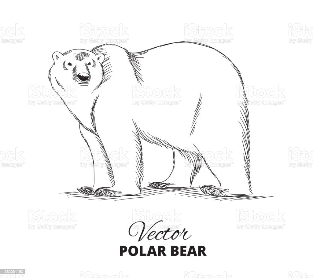 Polar bear hand drawn illustration vector art illustration