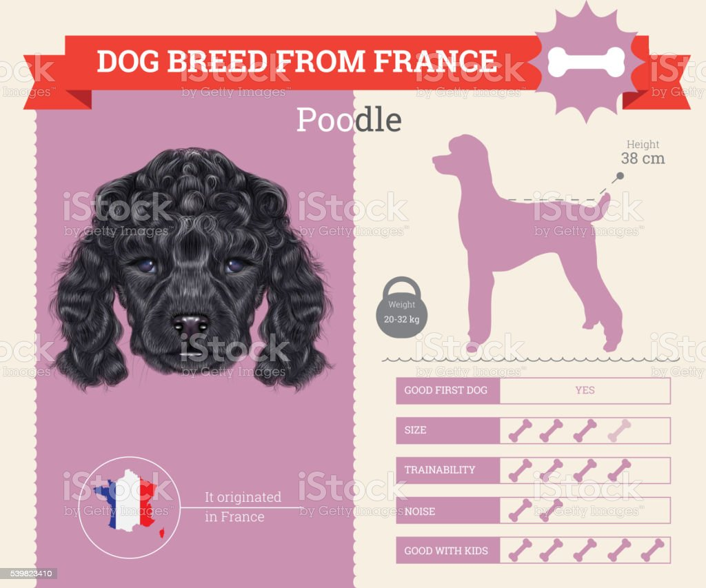Poodle Dog breed vector infographics. vector art illustration