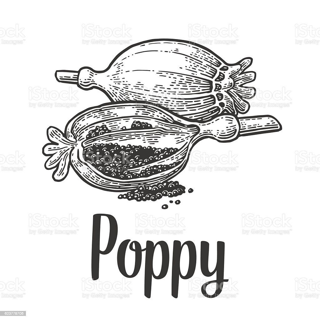 Poppy heads and seeds. Vector black vintage engraved vector art illustration