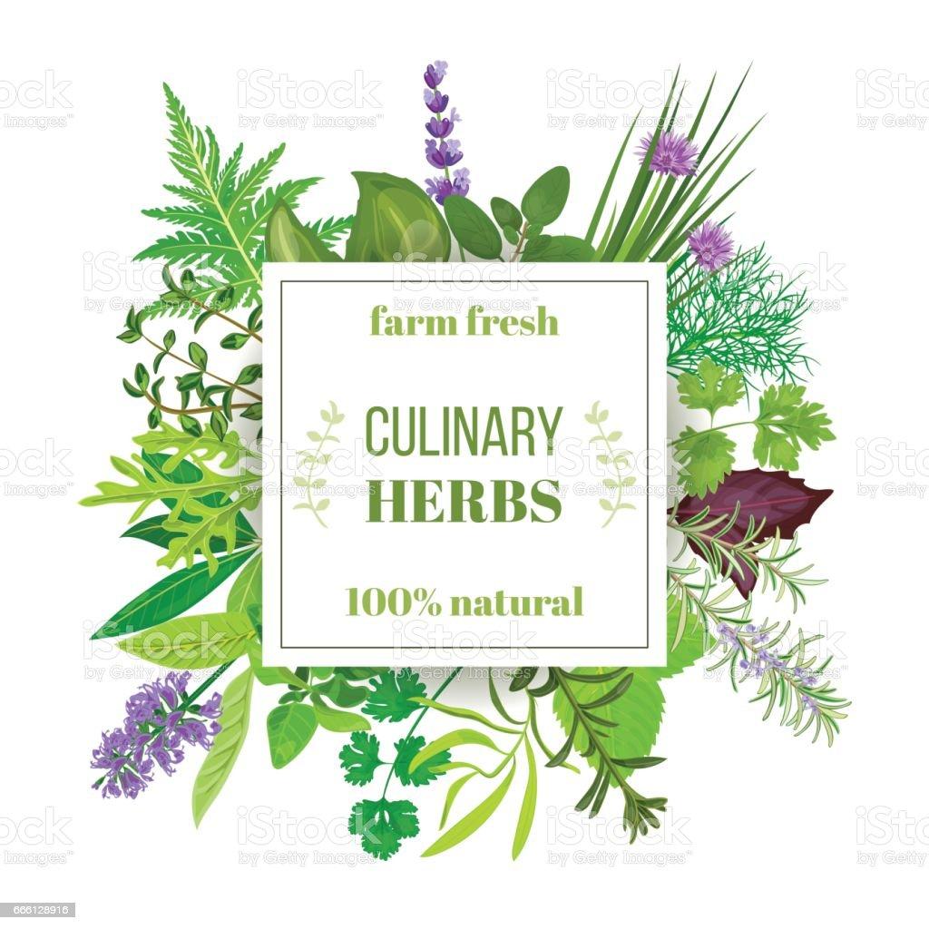 Popular Culinary herbs big set with squire emblem vector art illustration
