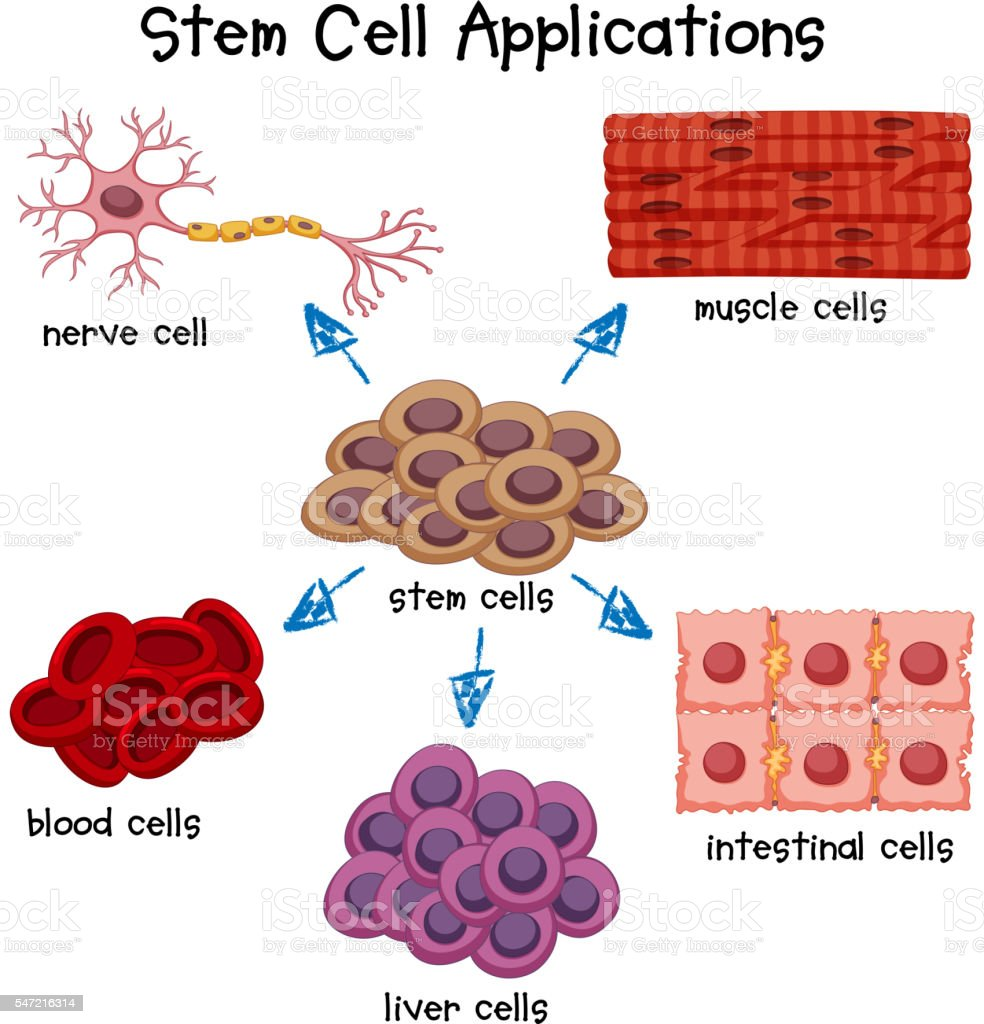 Poster showing different stem cell applications vector art illustration