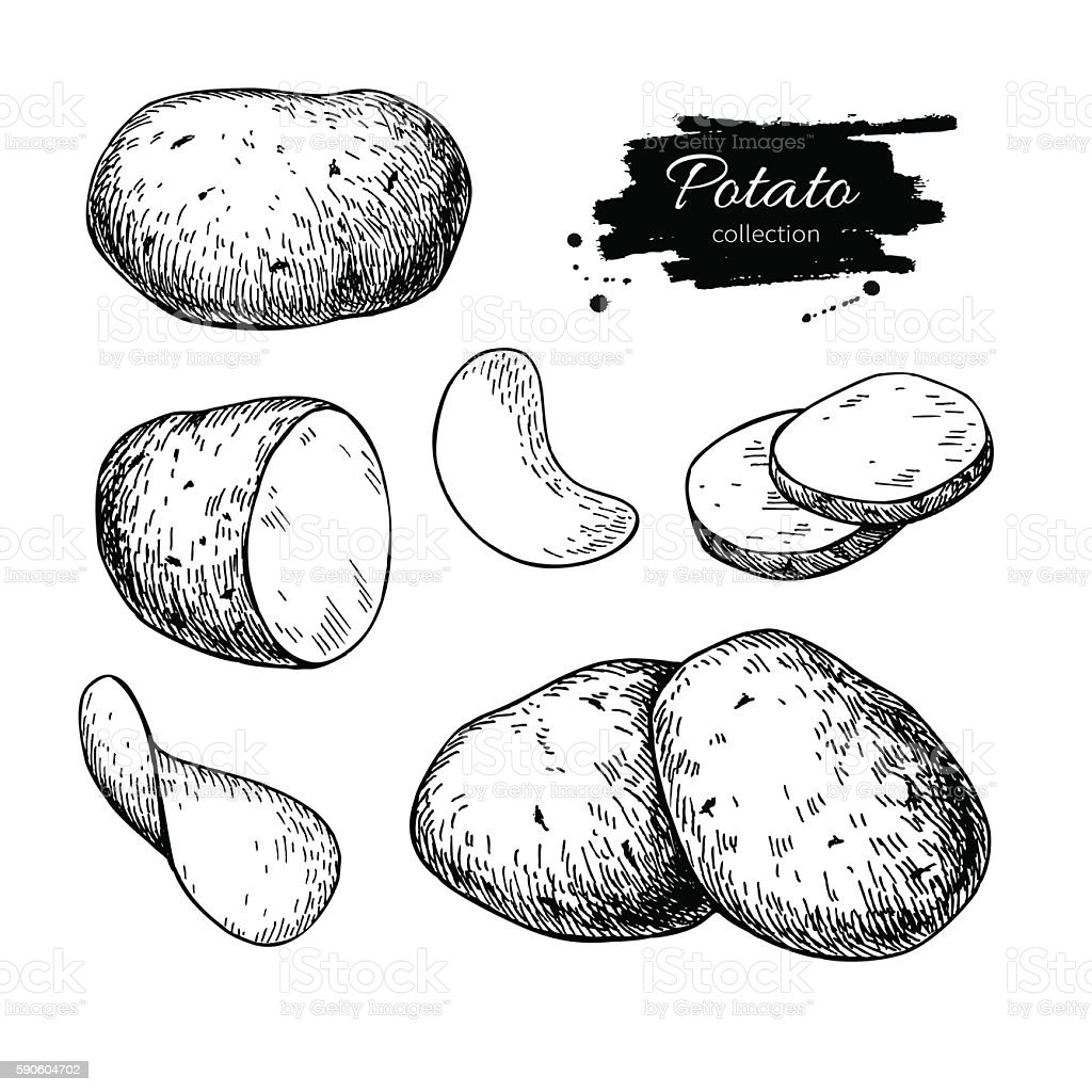 Potato drawing set. Vector Isolated potatoes heap, sliced pieces vector art illustration