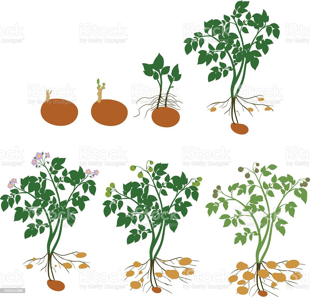 Potato plant growth cycle vector art illustration
