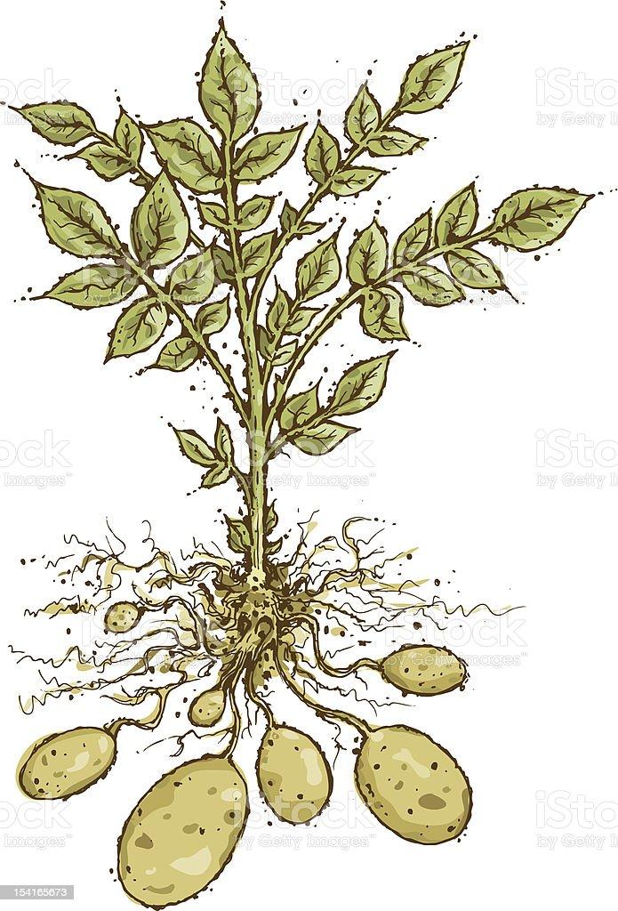 Potato Plant vector art illustration