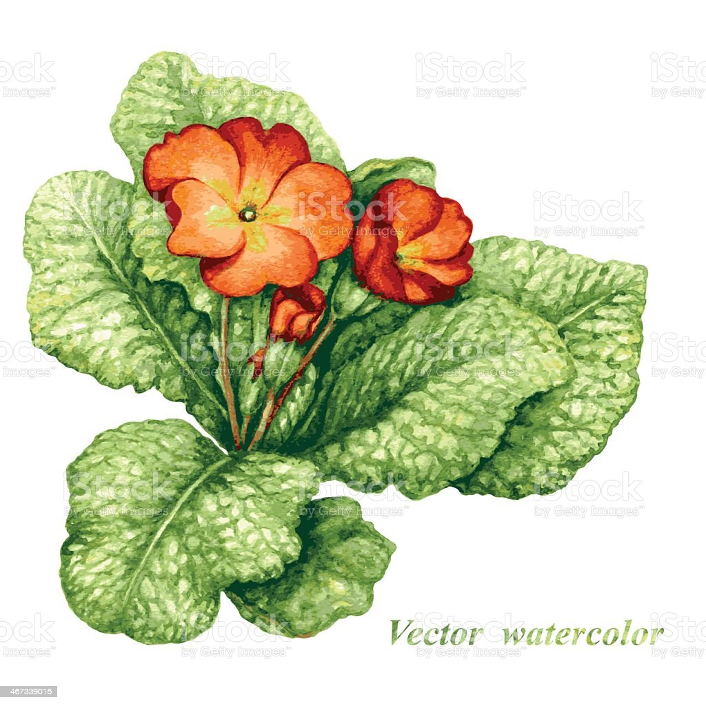 Primula flower vector art illustration