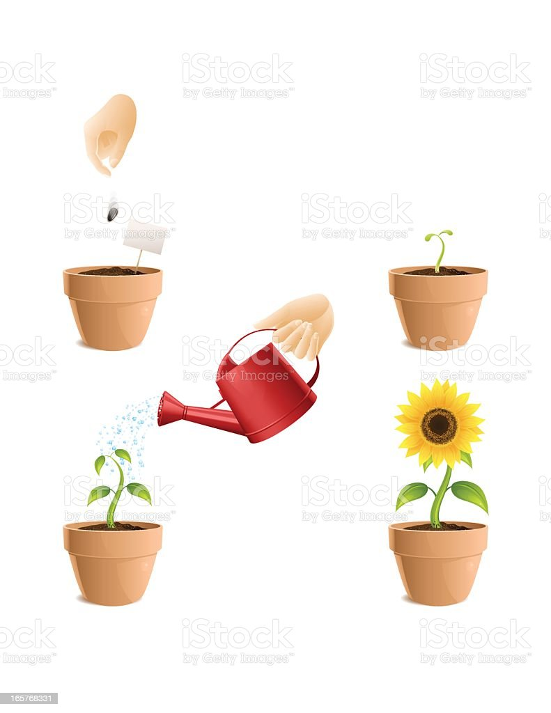 Procedure for growing Sunflower royalty-free stock vector art