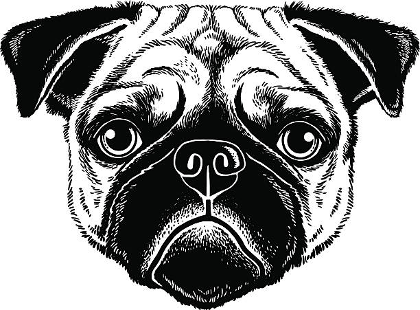 Pug Face Line Drawing : Pugs clip art vector images illustrations istock